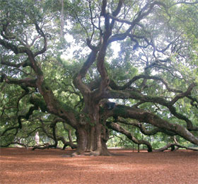 a photo of Johns Island's Angel Oak